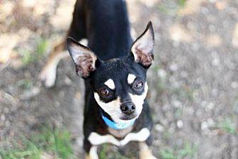 Chihuahua Dog for adoption in Salinas, California - TIMMY