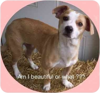 Jack Russell Terrier Mix Puppy for adoption in Louisville, Kentucky - Cici
