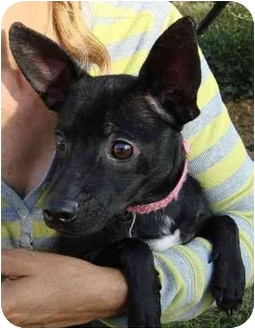 Chihuahua Dog for adoption in Coral Springs, Florida - Kiwi