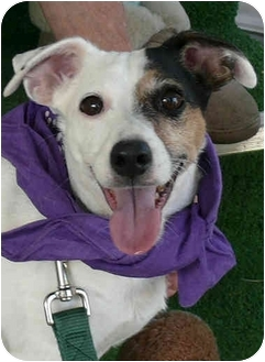 Jack Russell Terrier Dog for adoption in Sacramento, California - Raider great dog