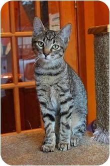 Manx Cat for adoption in Tillamook, Oregon - Rudy