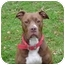 Photo 1 - American Pit Bull Terrier Dog for adoption in Vernon Hills, Illinois - Bond
