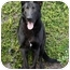 Photo 1 - German Shepherd Dog Mix Dog for adoption in Los Angeles, California - Ace von Amberg