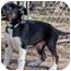 Photo 2 - Border Collie/German Shepherd Dog Mix Puppy for adoption in Austin, Texas - Clooney
