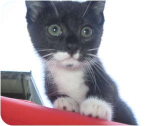 Domestic Shorthair Kitten for adoption in Worcester, Massachusetts - kitten Sylvester
