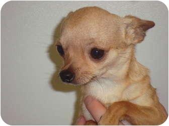 Chihuahua/Chihuahua Mix Dog for adoption in Bristow, Oklahoma - Razor
