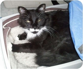 Domestic Mediumhair Cat for adoption in Anchorage, Alaska - Goliath