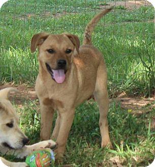German Shepherd Dog/Labrador Retriever Mix Dog for adoption in Spring Valley, New York - Mulan