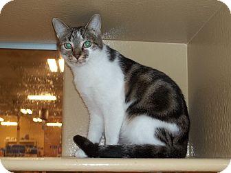 Domestic Shorthair Cat for adoption in North Wilkesboro, North Carolina - Purdy