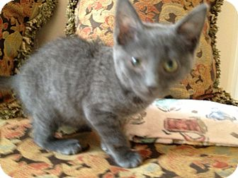 Domestic Mediumhair Kitten for adoption in East Hanover, New Jersey - Aqua Girl