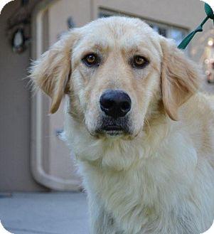 Golden Retriever/Great Pyrenees Mix Dog for adoption in Danbury, Connecticut - Sophia