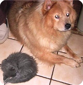Collie/Chow Chow Mix Dog for adoption in Hollywood, Florida - Tara