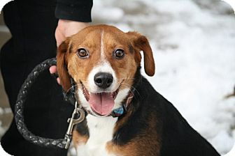 Beagle Mix Dog for adoption in Anderson, Indiana - Adia