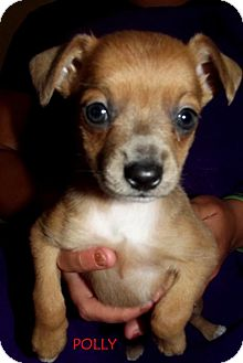 Chihuahua Puppy for adoption in Silsbee, Texas - Polly