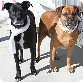 Boxer Mix Dog for adoption in Palatine, Illinois - Betsy & Belle