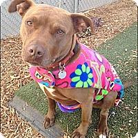 Adopt A Pet :: Tilly - West Hills, CA