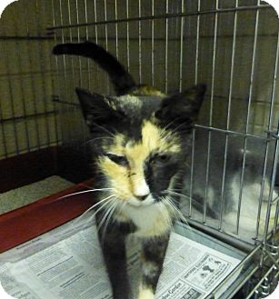 Calico Cat for adoption in Henderson, North Carolina - Candy Corn