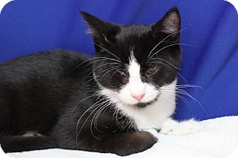 Domestic Shorthair Cat for adoption in Midland, Michigan - Madden