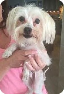 Maltese Mix Dog for adoption in Palm Harbor, Florida - Liam