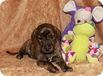 Labrador Retriever Mix Puppy for adoption in Brattleboro, Vermont - Darcy