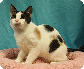 Calico Cat for adoption in Tallahassee, Florida - Sugar