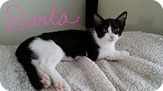 Domestic Shorthair Kitten for adoption in Middletown, Ohio - Darla