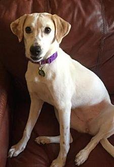 Australian Shepherd/Labrador Retriever Mix Dog for adoption in Scottsdale, Arizona - Maui