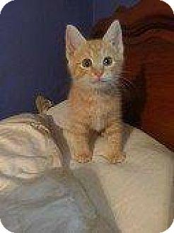 Domestic Shorthair Kitten for adoption in Hampton, Virginia - T-BONE