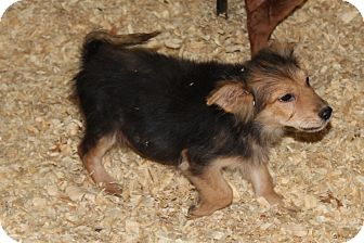Cairn Terrier/Terrier (Unknown Type, Small) Mix Puppy for adoption in Harmony, Glocester, Rhode Island - Thing two