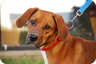 Redbone Coonhound Mix Dog for adoption in Coeburn, Virginia - Mercy