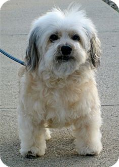 Maltese/Yorkie, Yorkshire Terrier Mix Dog for adoption in Santa Barbara, California - Fiona