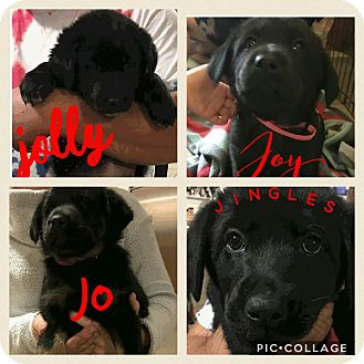 Labrador Retriever/Border Collie Mix Puppy for adoption in Brattleboro, Vermont - Jolly J litter