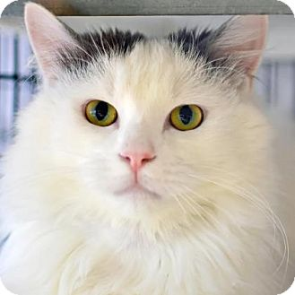 Domestic Longhair Cat for adoption in Denver, Colorado - Darwin