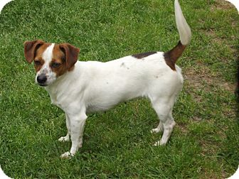 Terrier (Unknown Type, Small) Mix Dog for adoption in Marshall, Texas - Cracker Jack