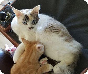Turkish Van Cat for adoption in Orange, California - Mhysa