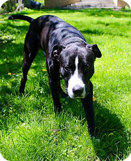 Labrador Retriever/American Pit Bull Terrier Mix Dog for adoption in Munster, Indiana - Domino