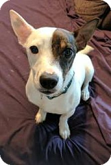 Jack Russell Terrier Mix Dog for adoption in Streamwood, Illinois - Macaroni