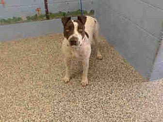 Pit Bull Terrier Mix Dog for adoption in San Bernardino, California - URGENT on 8/15 SAN BERNARDINO