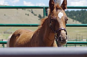 Thoroughbred Mix for adoption in Hartville, Wyoming - Eclipse