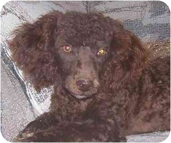 Toy Poodle Dog for adoption in Evansville, Indiana - Bentley