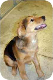 Shepherd (Unknown Type)/Sheltie, Shetland Sheepdog Mix Puppy for adoption in Walker, Michigan - Cody