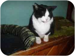 Domestic Shorthair Cat for adoption in Hamburg, New York - Trixie