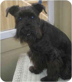 Schnauzer (Miniature)/Miniature Schnauzer Mix Dog for adoption in Chicago, Illinois - Dexter