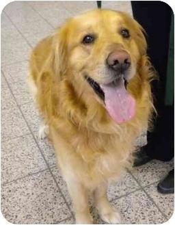 Golden Retriever Dog for adoption in Cleveland, Ohio - Sam