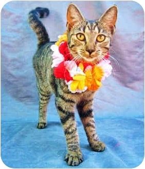 Domestic Shorthair Cat for adoption in Puunene, Hawaii - Missy