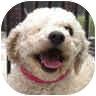 Bichon Frise Mix Dog for adoption in La Costa, California - Hope