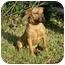 Photo 2 - German Shepherd Dog/Labrador Retriever Mix Dog for adoption in Kingwood, Texas - Clifford