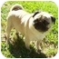 Photo 3 - Pug Dog for adoption in League City, Texas - Oliver