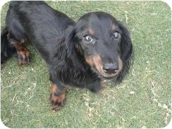 Dachshund Puppy for adoption in Astoria, New York - Andrew