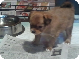 Pekingese/Whippet Mix Puppy for adoption in White Settlement, Texas - Trixie 2